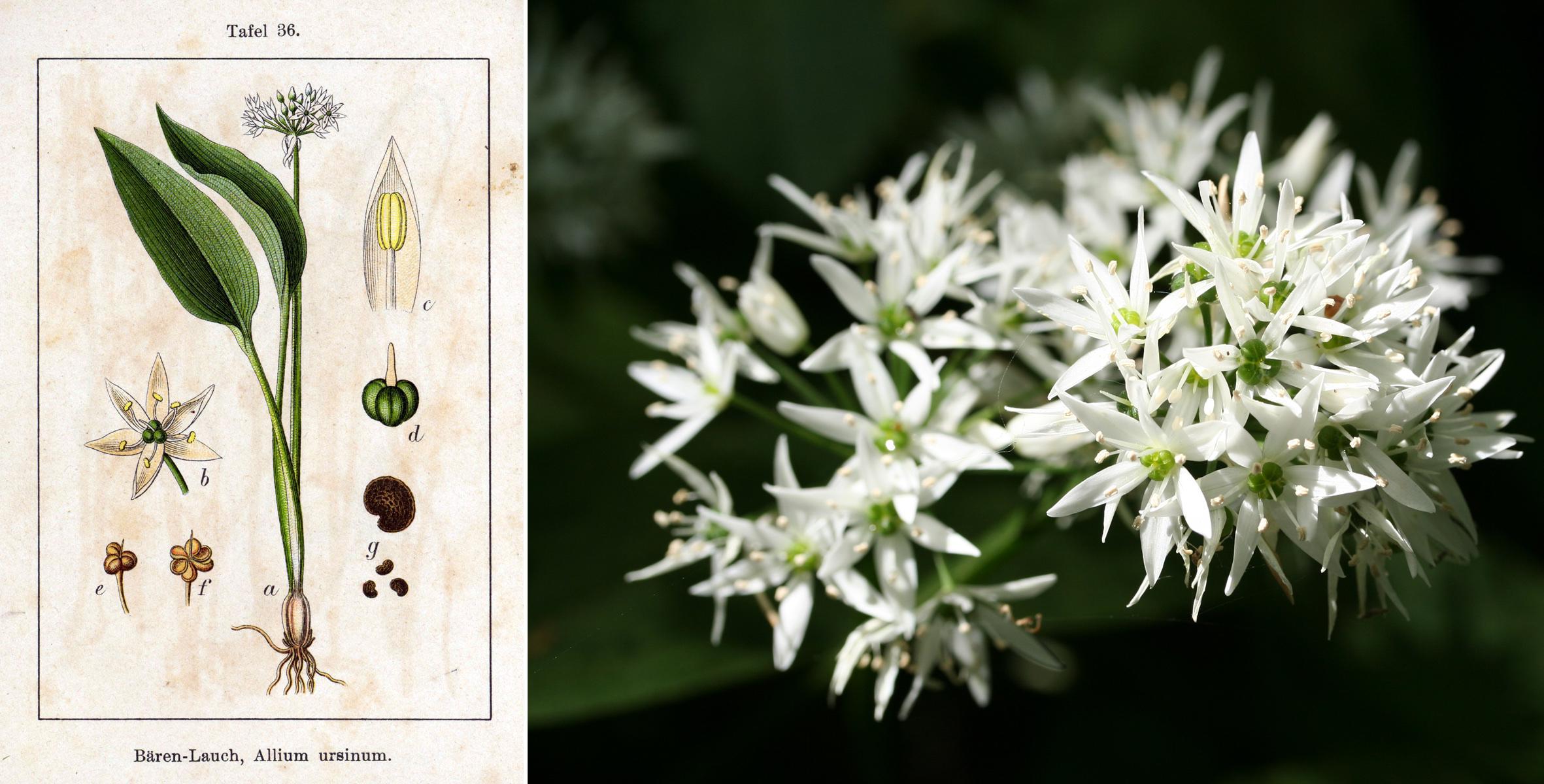 Allium_ursinum_Sturm36 Kopie